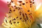 Pollen Flower