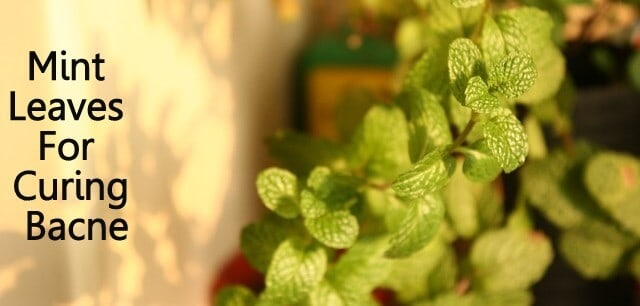 Mint Leaves for Curing Back Acne
