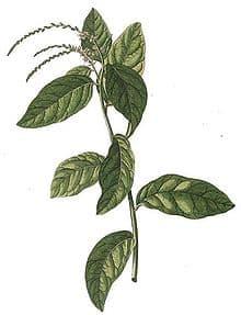 Anamu Plant