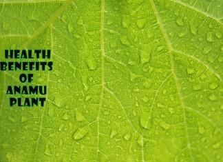 Health Benefits Of Anamu Plant