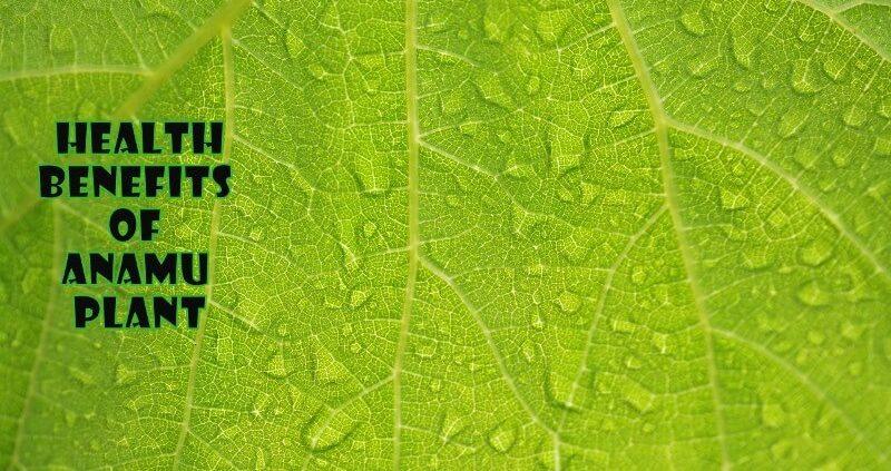 Anamu Plant : Health Benefits, Side Effects, Dosage
