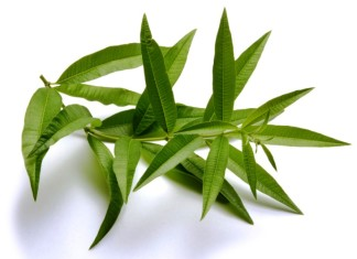 Lemon Verbena Essential Oil A Magical Product Of Nature