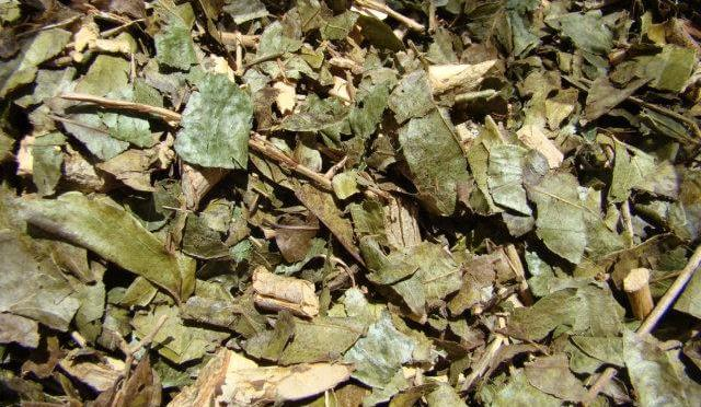 Health Benefits Of Drinking Porangaba Tea