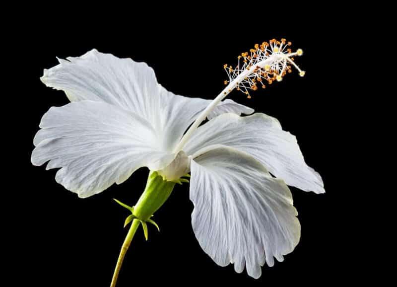 Amazing Health Benefits Of Shoe Flower