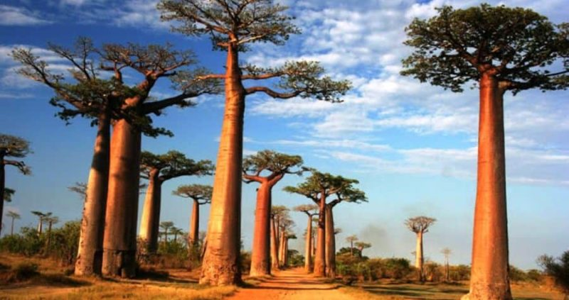 12 Amazing Health Benefits Of Baobab Oil