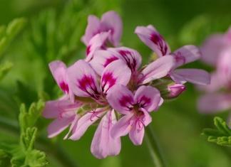 Health Benefits Of Rose Geranium Essential Oil