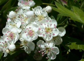 Crataegus Oxyacantha - Health Benefits,Side Effects and Usage