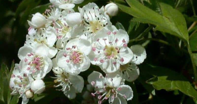 Crataegus Oxyacantha – Health Benefits, Side Effects And Usage