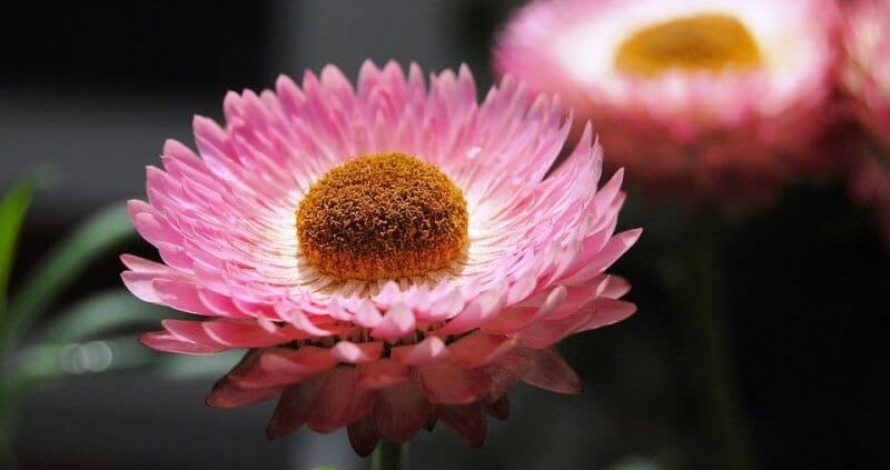 Helichrysum Essential Oil – Uses, Health Benefits, Dosage