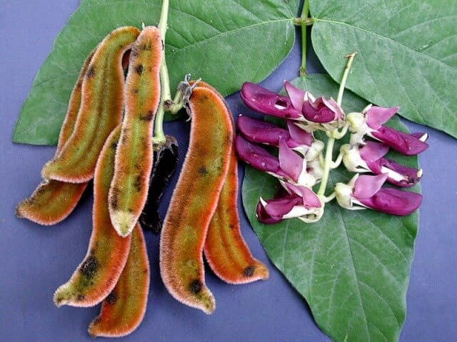 How To Use Mucuna Pruriens Bean
