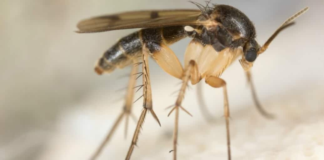 Types of gnats bing images for Gnat infestation in bathroom