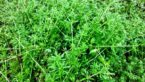 Cleavers (Galium Aparine) : 18+ Health Benefits, Uses, Properties