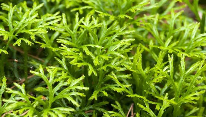 Club Moss Uses, Benefits, Characterstics