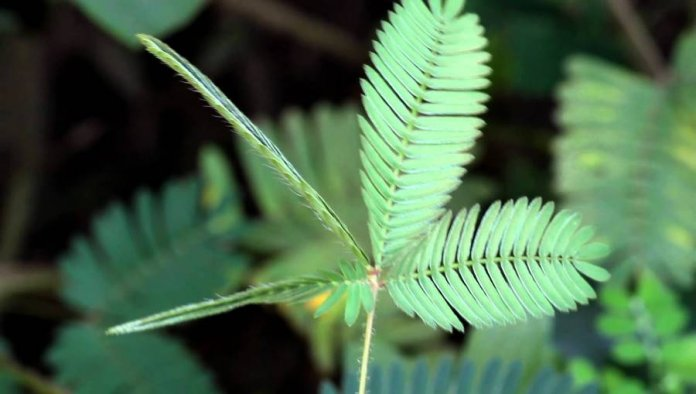 Health Benefits of Touch-me-not Plant (Mimosa pudica )