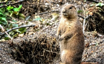 Home Remedies To Get Rid Of Gophers