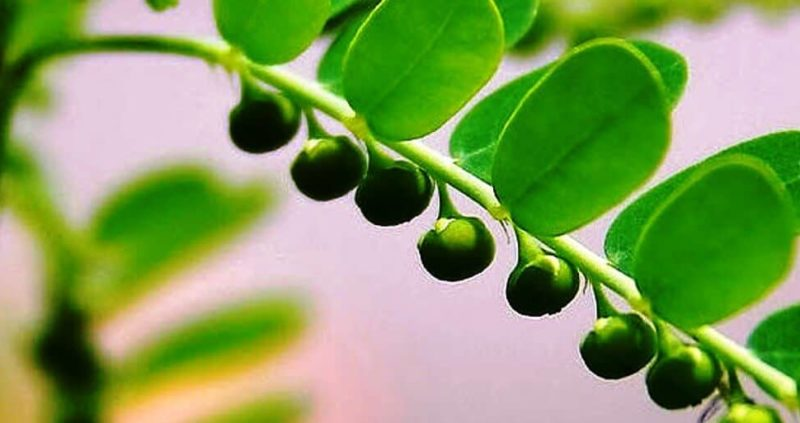 Phyllanthus Niruri – Wonder Herb That Cure Many Disease
