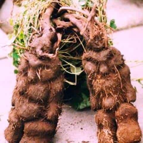 Roots Of He Shou Wu