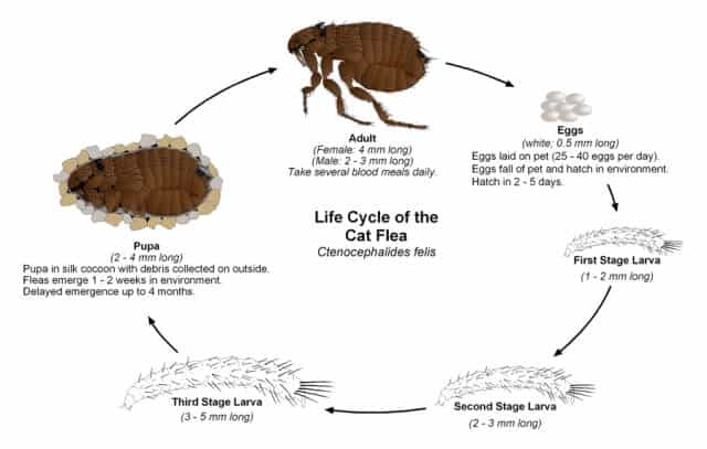 lifecycle of fleas