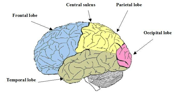 central sulcus : everything you should know about it, Human Body