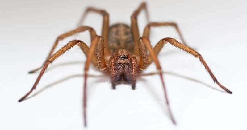 Hobo Spider Bite :Pictures,Symptoms, And Treatments