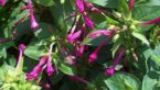 Clavillia : Uses, Dosage, Benefits, Side Effects