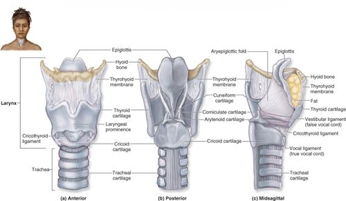 Anatomy Of The Thyroid Cartilage