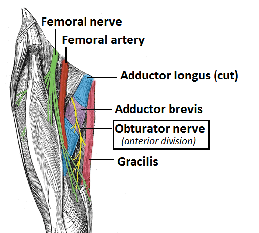 Obturator Nerve:Everything You Should Know About