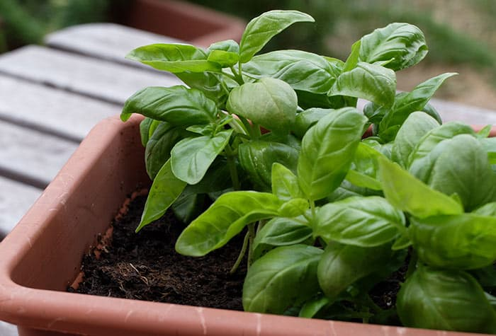 Basil for ear infection