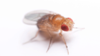 Do Fruit Flies Bite And Are They Dangerous?