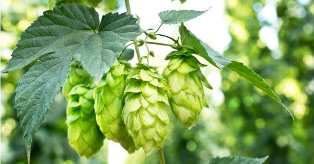 Hops To Get Rid Anxiety Attack