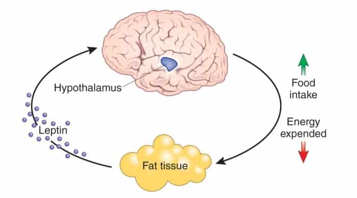 How does leptin work