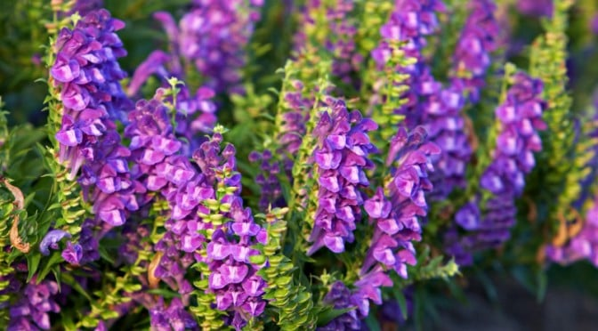 Scutellaria (Skullcap) Panic Attack Without Medication