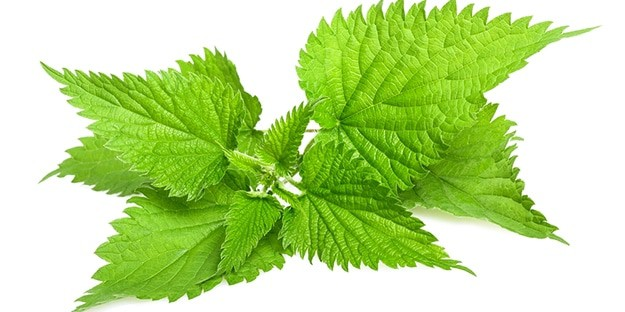 Stinging Nettle make hives go away