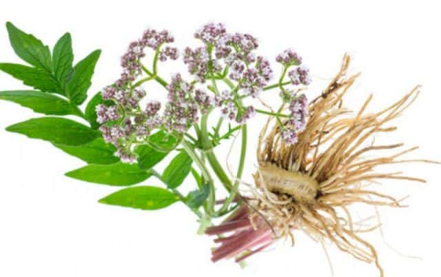 Valerian Panic Attack Without Medication