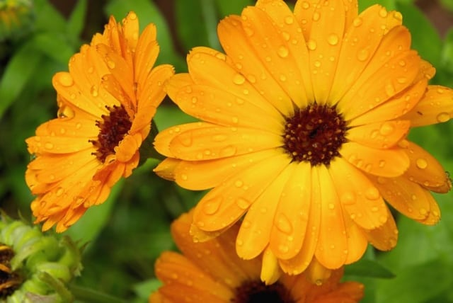 Calendula flower for eye