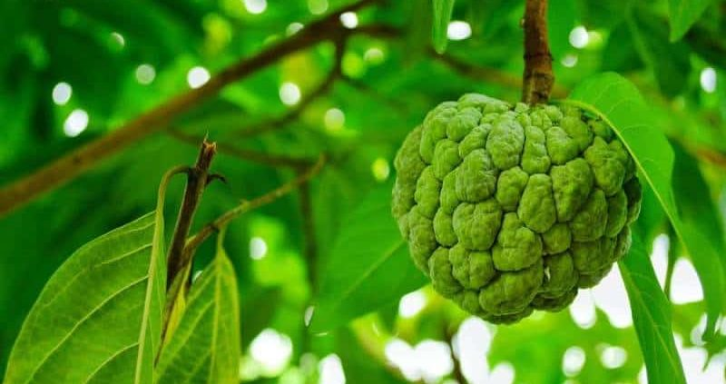 30+Health Benefits Of Custard Apple That You Should Know