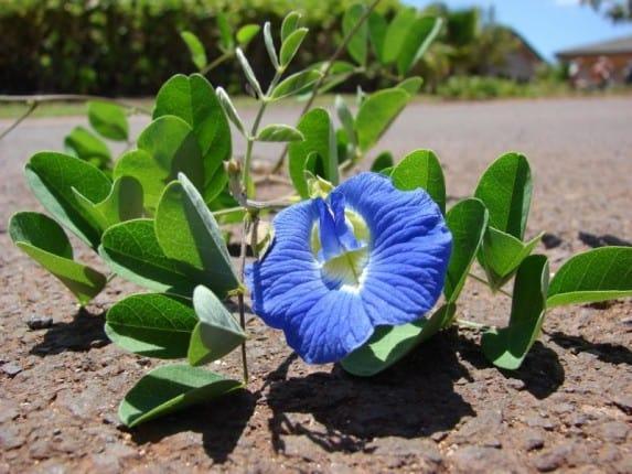 Shankhupuspi plant