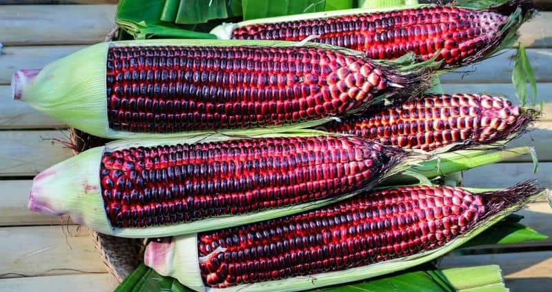 11 Healing Properties of Purple Corn That Many Dont Know