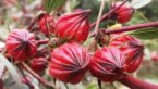 11 Health Benefits & Uses Of Red Roselle Flower