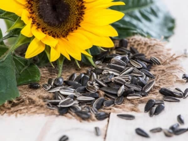 Sunflower seeds for white blood cells