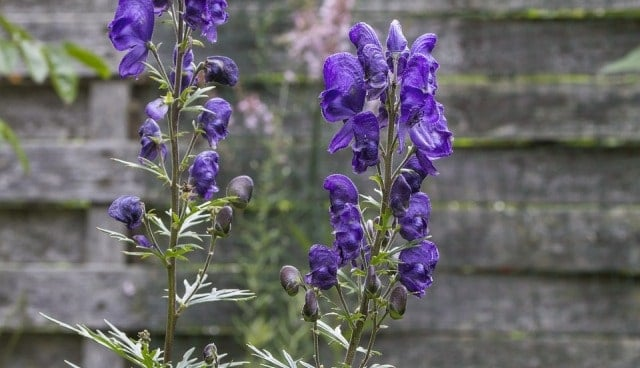 Health Benefits Of Aconite