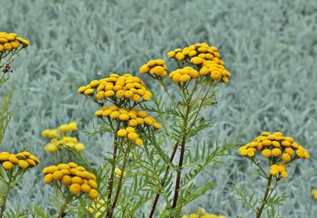 Helichrysum essential oil for hand tremors
